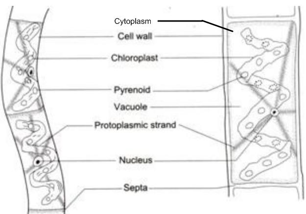 Lab cells and the microscope pdf use the picture below to label the cell wall cytoplasm nucleus ccuart Gallery