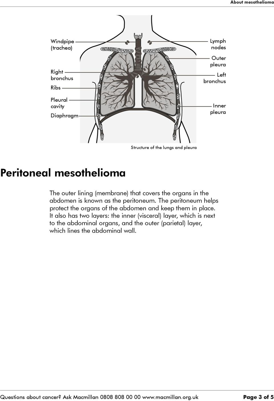 The peritoneum helps protect the organs of the abdomen and keep them in place.
