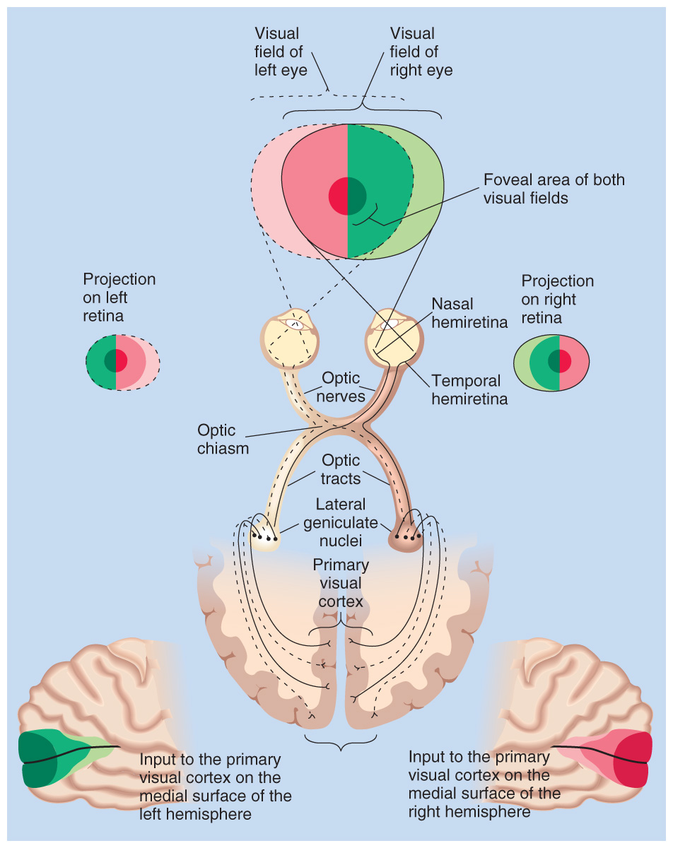 Chapter 16 Lateralization, Language, and the Split Brain - PDF