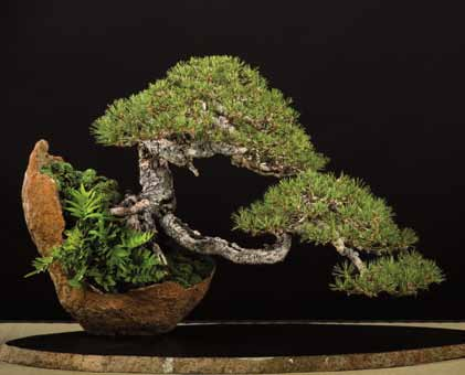 Pinus mugo Little Gold Star grafted  in 9cm pot bonsai subject