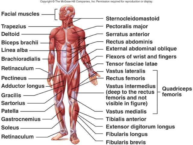 Muscular System Functions Muscular System Histology And Physiology