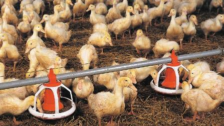 AugerMatic  The feeding system for successful poultry growing - PDF