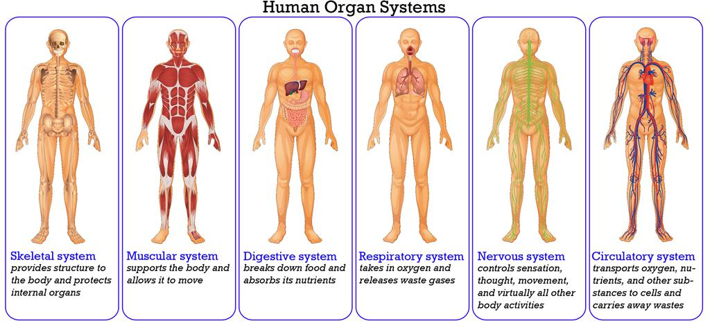 Unit 211 Organization Of The Human Body Pdf