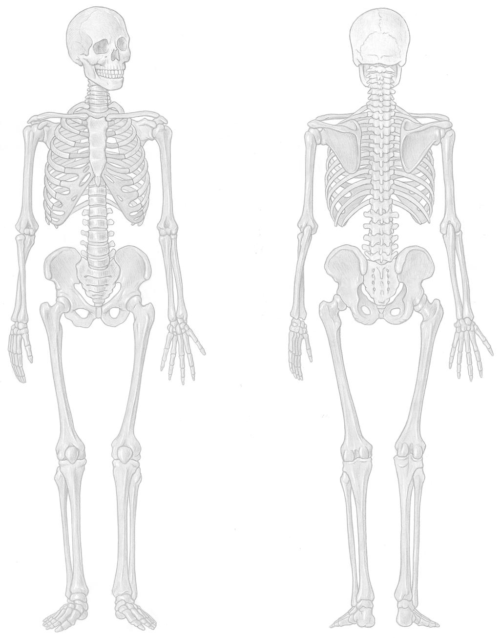 The Skeletal System OBJECTIVES ACTIVITIES A Pletion