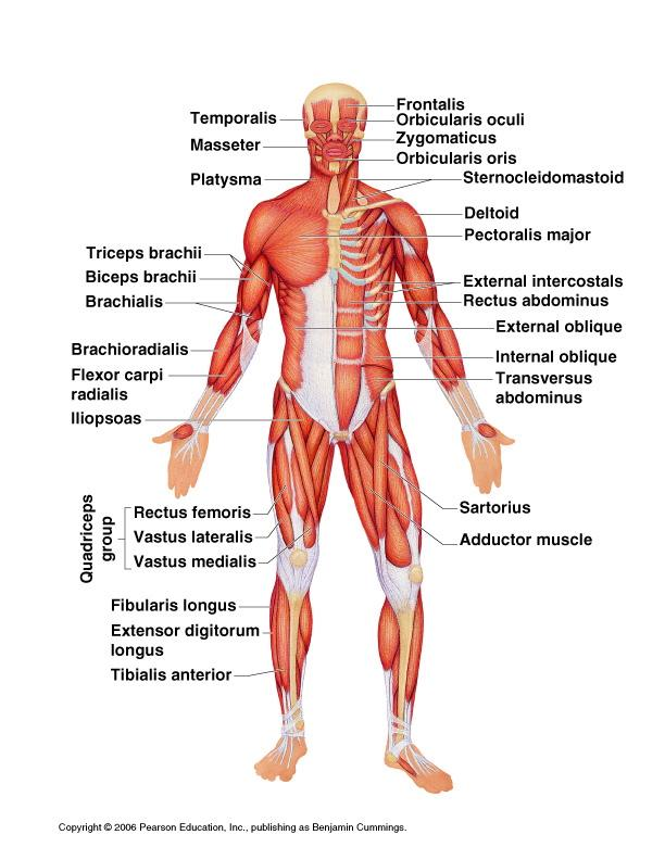 Two functions of the muscular system: MUSCULAR SYSTEM. Types of ...
