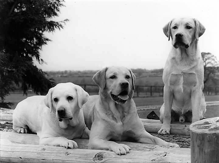 Yearbook of the Labrador Retriever Kennel Club, South Africa
