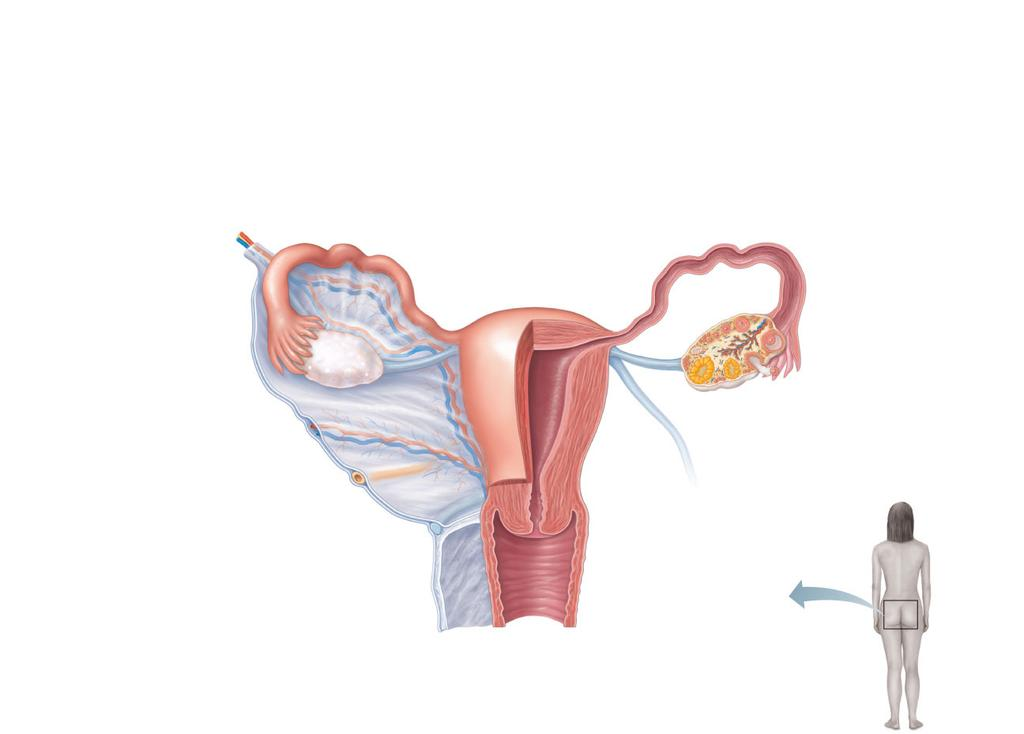 Female Reproductive Anatomy. Ovaries: female gonads. Accessory ducts ...