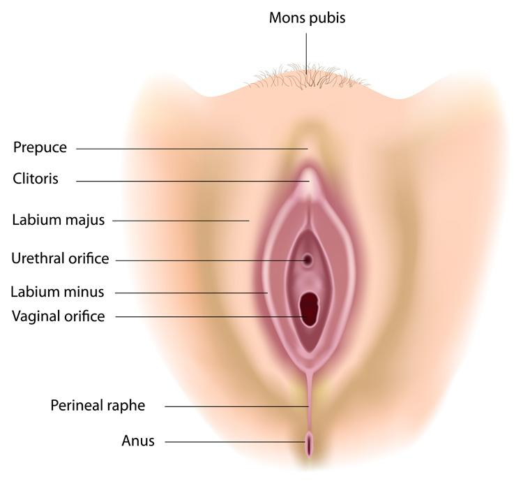 Anatomy The labia majora are the outer skin folds surrounding the vagina;  the labia minora
