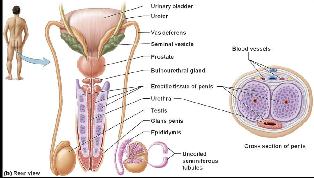 Prostrate Gland - Len Academy