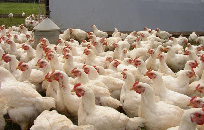 Kenbro Poultry Breed