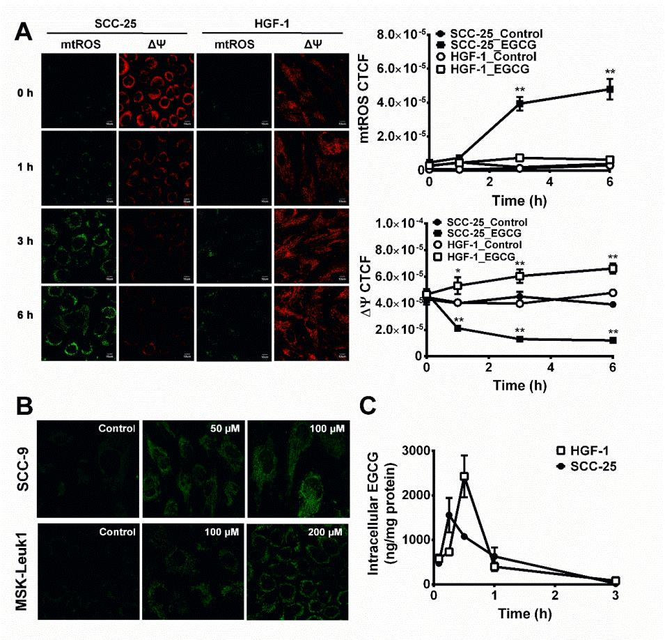 87 Figure 3-1. EGCG-induced mitochondrial reactive oxygen species and changes in mitochondrial membrane potential in oral cells.
