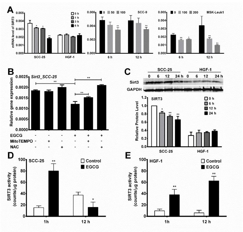 89 Figure 3-2. EGCG-induced differential changes of SIRT3 expression and activity in oral cells. (A) SCC-25 and HGF-1 cells were treated with 100 µm EGCG for 0-6 h.