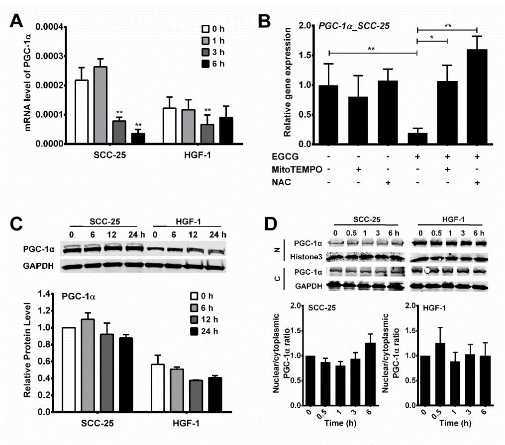 93 Figure 3-4. EGCG-induced differential changes of PGC-1α expression and nuclear localization in oral cells. (A) SCC-25 and HGF-1 cells were treated with 100 µm EGCG for 0, 1, 3, or 6 h.