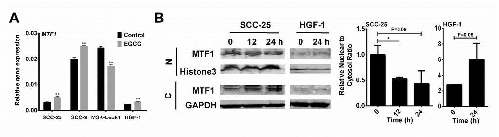 123 Figure 4-5. The regulation of MTF1 by EGCG. (A) SCC-25, SCC-9, MSK-Leuk1 and HGF-1 cells were treated with 0 or100 µm EGCG for 12 h. MTF1 mrna expression were measured by qpcr.