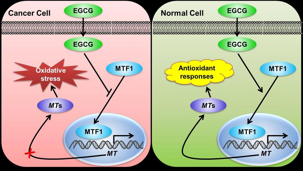 125 Figure 4-6. The scheme of EGCG s differential pro-oxidant effects through mediating MT signaling.
