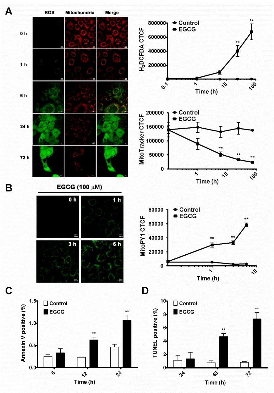 62 Figure 2-4. EGCG-induced mitochondrial ROS in SCC-25 cells.